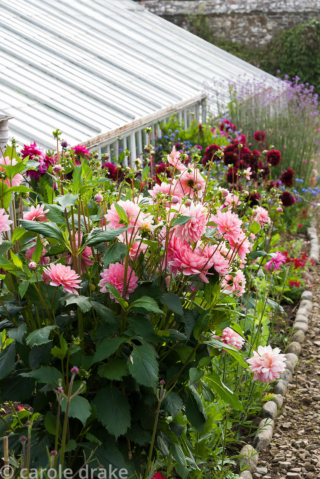 Restored Victorian glasshouses with a border of dahlias alongside. Clovelly Court, Bideford, Devon, UK