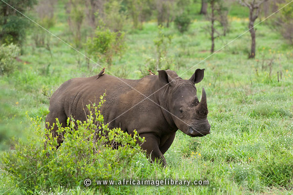 White rhinoceros (Ceratotherium simum), Kruger National Park, South Africa