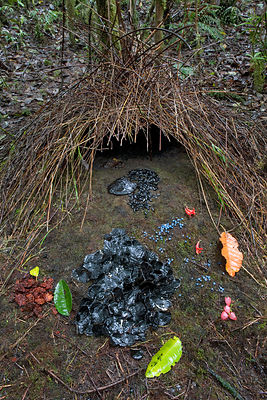 Bower of Vogelkop Bowerbird (Amblyornis inornatus) decorated with various types of leafs, beetle wing covers, black and brown...