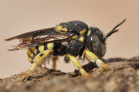 Anthidium strigatum