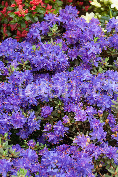 Rhododendron 'Purple Pillow'