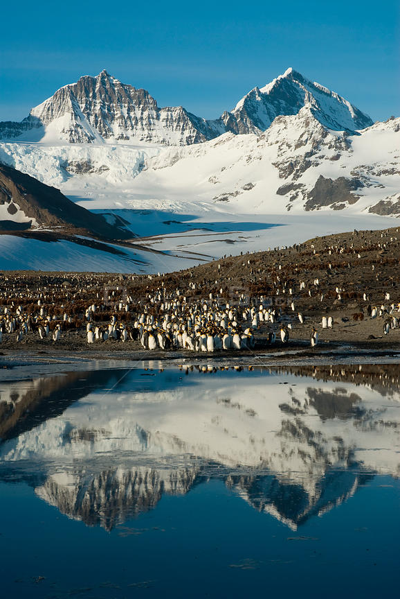 King Penguin (Aptenodytes patagonicus) colony, with mountains reflected in the ocean, St Andrew's Bay, South Georgia. Photogr...