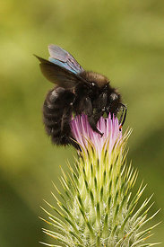 Xylocopa species