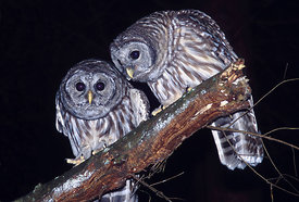 June - Juvenile Barred Owls