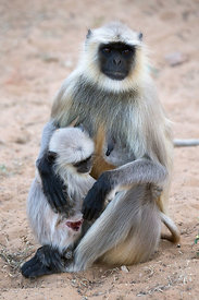 Wild mother and injured baby langur monkey in the desert, Pushkar, Rajasthan, India