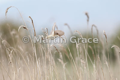 European Reed Warbler (Acrocephalus scirpaceus) in flight through reed bed, Parque Nacional de las Tablas de Daimiel, Castill...