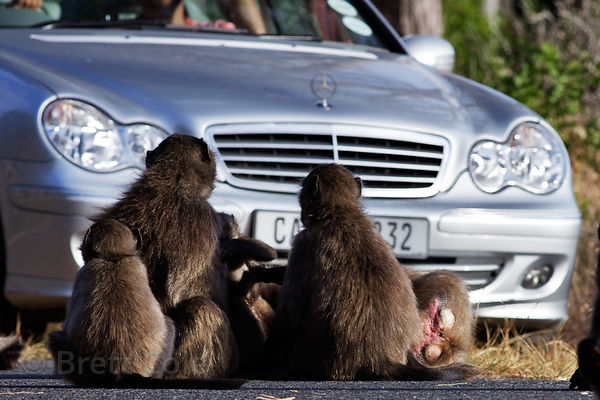 Chacma baboons from the Plateau Road troop sit unconcerned on the road as a Mercedes driver almost runs them over in an attem...
