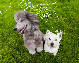 Laughing Silver Poodle and White Terrier Friends Sitting Together