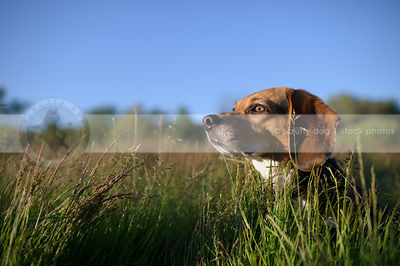 headshot of beagle dog in deep grasses with sunshine