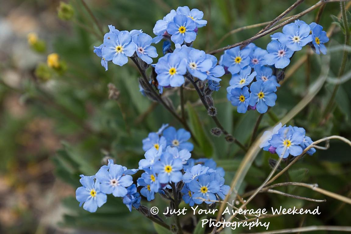 Woods Forget-me-not