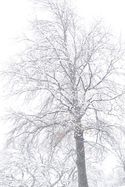 Snow day in Irving, TX (tree full image)