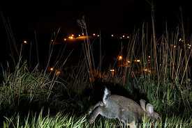European rabbit (Oryctolagus cuniculus) at night