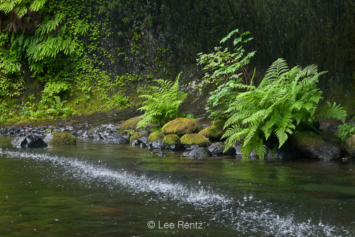 Lady Fern along Eagle Creek in Columbia River Gorge