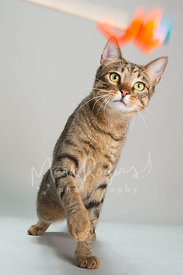 Brown Tabby Cat Moving Paw Toward Toy Against Studio Background