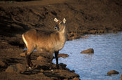 Defassa waterbuck, Kobus ellipsiprymnus defassa, at a waterhole, Aberdares National Park, Kenya