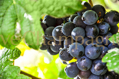 PINOT NOIR photos