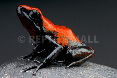 Splash-backed poison frog (Adelphobates galactonotus)