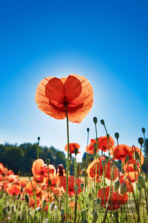 Corn poppy  (lat. papaver rhoeas) - Europe, Germany, Bavaria, Upper Bavaria, Munich, Taufkirchen - digital