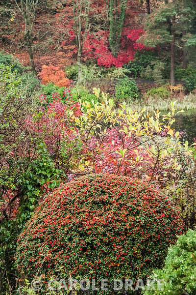 Clipped cotoneaster with red of cotinus behind and a group of colourful acers amongst tall trees on the opposite side of the ...