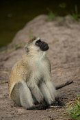 Vervet monkey, Cercopithecus aethiops, Lake Mburo National Park, Uganda