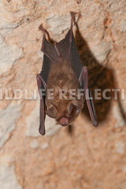 funnel_eared_bat_hanging_10
