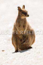 rock_wallaby_mareeba_pouch_joey_white-9