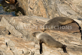 new_zealand_fur_seal_lazy_rock_pair-3