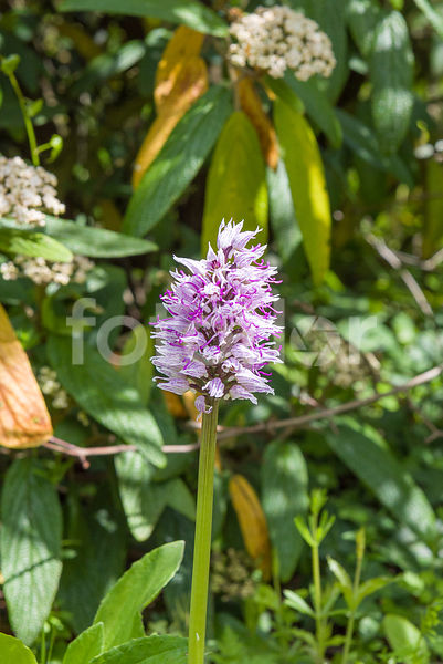 Orchis italica, orchidée terrestre, rose