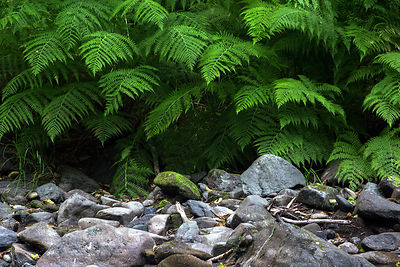 Ferns along Mill Creek, Jedidiah Smith Redwoods State Park, California