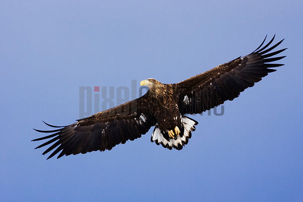 White-tailed eagle (Haliaeetus albicilla) in flight, low angle view