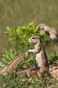 Young Ground squirrel suckling(Xerus inauris), Etosha National Park, Namibia