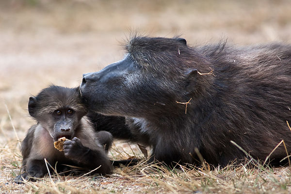 Chacma baboons from the Smitswinkel troop share a sweet moment, near Miller's Point, Cape Peninsula, South Africa