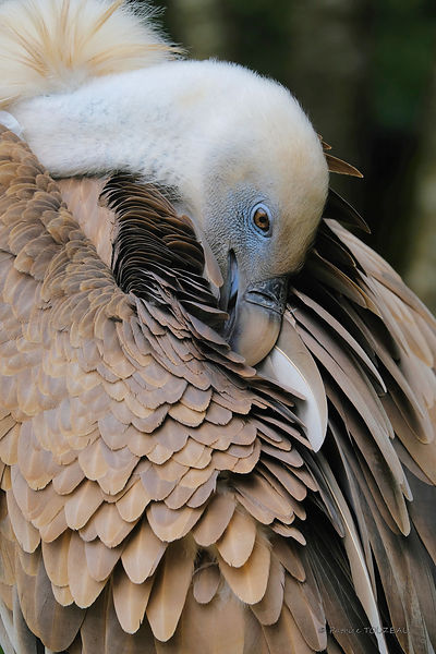 Portrait of a tawny vulture in the Val d'Aran park in Bossost, Spain
