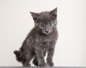 Grey shorthaired Kitten with Green Eyes standing up against white background