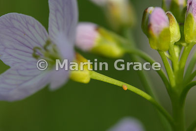 Flower head of Lady's Smock (Cuckoo Flower) (Cardamine pratensis) with 2- to 3-day-old orange egg of the Orange Tip butterfly...