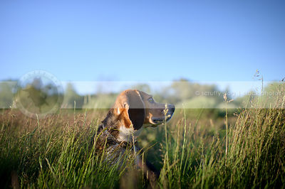 tricolor beagle dog looking away in deep grass under sky
