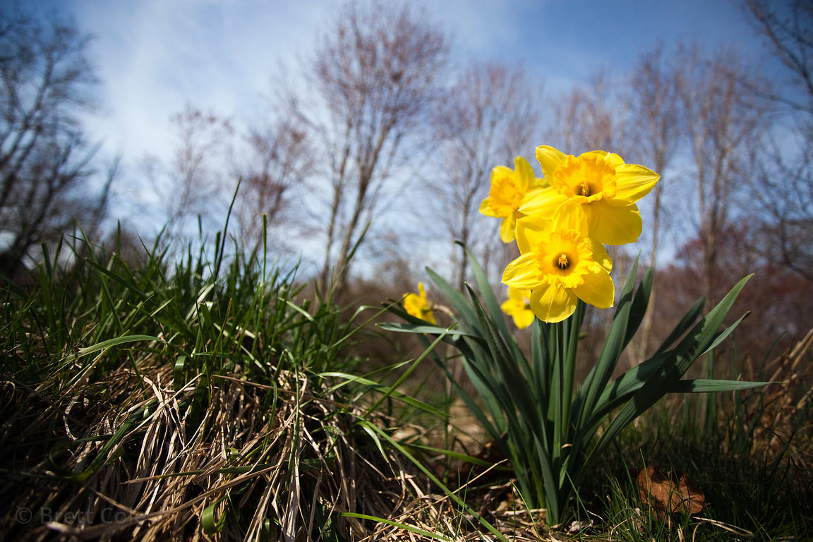 "A ""wild"" daffodil in a natural area called ""The Flood Plains,"" next to Goshen Park, Gaithersburg, Maryland"