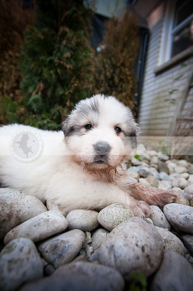 dirty white puppy dog lying on stones in yard