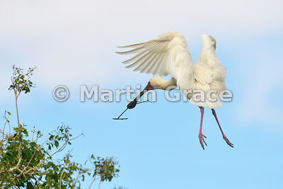 African Spoonbill (Platalea alba) carrying nesting material back to its nest, River Chobe, Botswana