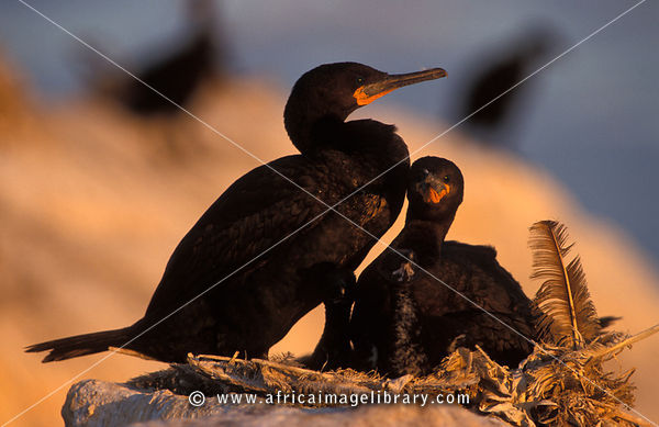 Cape Cormorant Colony, Phalacrocorax capensis, Lambert's Bay, Western Cape, South Africa