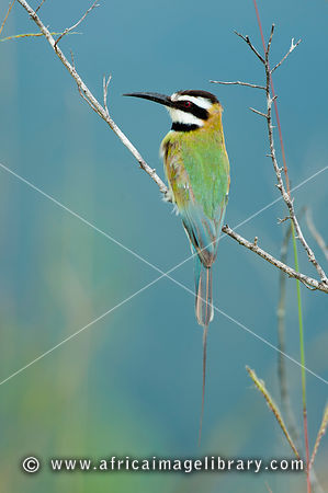 White-throated bee-eater, Shimba Hills National Reserve, Kenya
