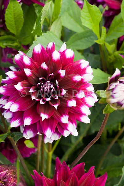 Dahlia. Clovelly Court, Bideford, Devon, UK