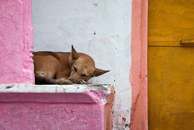 Dog sleeping on a colorful stoop, Pushkar, Rajasthan, India