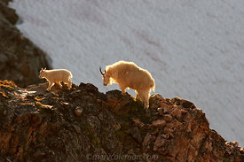Backlit Mountain Goats