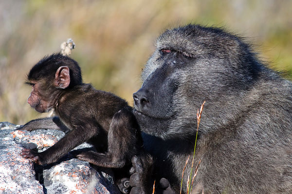 George, the alpha male chacma baboon from the De Gama Park troop, with a baby from the troop, in the Slangkop area of Table M...