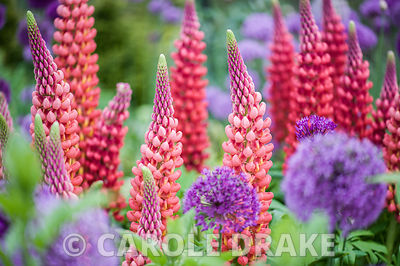 Lupinus 'Beefeater' amongst Allium hollandicum 'Purple Sensation' and A. aflatunense.