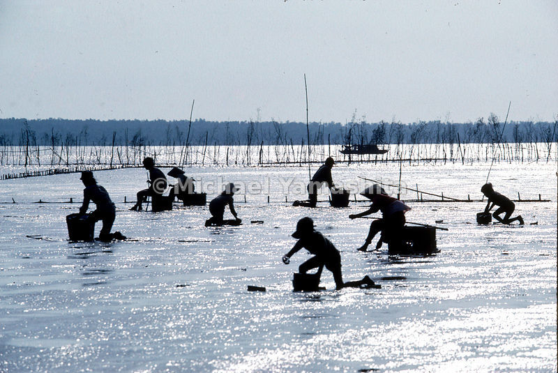 Defoliation during the war turned this mangrove forest at the mouth of the Mekong into a mud flat. At low tide, residents ski...