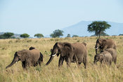 Herd of African elephant walking through grassland, Loxodonta africana africana, Kidepo Valley National Park, Uganda
