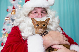 Orange Abyssinian Cat with Grumpy Expression Held by Smiling Santa