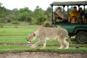 Tourists in a safari vehicle watching a lion stalking (Panthero leo), Madikwe Game Reserve, South Africa